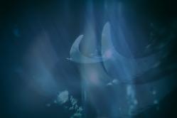 É fim de tarde, o sol desce no horizonte e traz aquele silêncio de um tempo limítrofe. A água do mar me chama, num apelo surdo, hipnótico. Entro devagarinho e sinto o silêncio; sobe cálido pelos pés, pernas, contornos, sexo, cintura. Mergulho e a água envolve-me como um afago. Sinto o corpo distensionar, músculo a músculo, fibra a fibra, poros e pensamentos. Inspiro e o silêncio me penetra, ecoa pelo corpo, expande os pulmões, aquieta a pulsação, suspende o tempo. O vento sopra solidão sobre a pele. Mexo mãos e pés, deslizo dedos sobre superfícies imaginárias, o teu corpo, o meu. Os olhos fechados tornam-se lúcidos; voltam-se para outro mundo, aquele que deixei há tantas vidas. Nele me encontro, e vejo-te, à espera. Estiveste sempre aí? O toque se materializa e sinto: são arraias, grandes e pequenas, várias, muitas, numa dança etérea, um voo fora do ar. Circundam-me, algumas se enterram na areia, como ouro profundo à espera de revelação. Ondulo como elas, voo com elas, deixo-me ficar, entregue a essa liberdade momentânea. Nossas superfícies se encontram, num prazer mútuo. Subitamente, algo me faz abrir os olhos. Anoiteceu sem que me desse conta. A maré subiu, a água que chegava à cintura quase me cobre inteira. Perdi-me em devaneios e me desnorteei. Volto-me sobressaltada à procura da praia, da textura da areia, da referência. Tenho medo de ser levada pela correnteza. As arraias continuam a nadar, alheias ao meu pânico; elas que eram parte de mim, agora me parecem estranhas, ameaçadoras. Não consigo tocar a areia; engulo a água salgada, engasgo-me. Sinto falta de ar e preciso me concentrar para não afundar por completo. Os olhos abertos não servem para muito na escuridão da realidade. A noite acontece dentro de mim e já não estás. Percebo que me estou a mover, um nado instintivo que me tira do desespero. Aliviada, agora sei onde está a praia e esforço-me na intenção de chegar até lá. Ganho ritmo, a respiração torna-se cadenciada; a praia está logo ali, à frente, pen